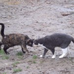 Tête_à_tête. de chats JPG